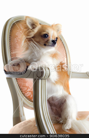 chihuahua on antique chair stock photo, cute chihuahua on an antique chair in front of white background by Bonzami Emmanuelle