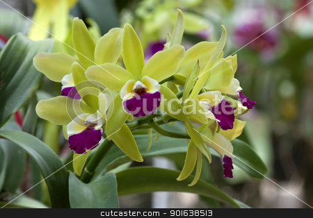 bright cattleya orchid flower color yellow and violet stock photo, bright cattleya orchid flower color yellow and violet by kamonrat