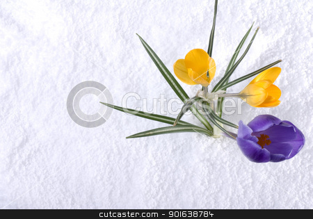 Crocus in Snow Purple and Yellow stock photo, Purple and yellow crocus flowers in the snow by saje