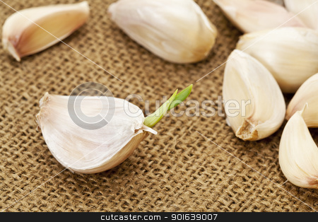 garlic cloves stock photo, germinating garlic cloves on burlap fabric background by Marek Uliasz