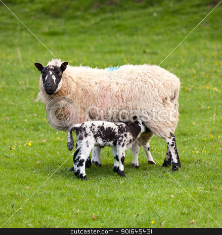 Pair of black welsh lambs in meadow stock photo, Two welsh lambs with black and white wool feeding from mother sheep by Steven Heap