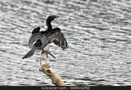 Bird, Little Cormorant, Phalacrocorax niger, basking in sun, per stock photo, Bird, Little Cormorant, Phalacrocorax niger, basking in sun, perched, tree branch, drying both wings beside water body by Srijan Roy Choudhury