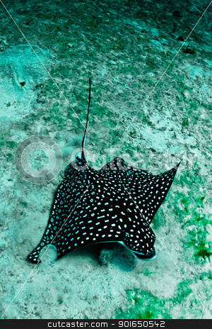 Eagle Ray stock photo, A large spotted eagle ray looks for food in the sand. by mojojojo