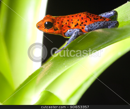 poison dart frog stock photo, red poison dart frog dendrobates pumilio tropical rainforest frog by Dirk Ercken