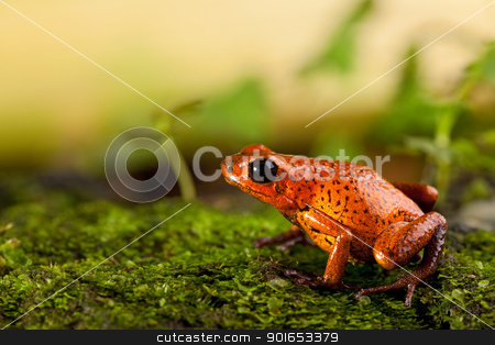 red frog stock photo, red frog in terrarium strawberry poison dart frog with bright colors exotic tropical amphibian and poisonous animal by Dirk Ercken