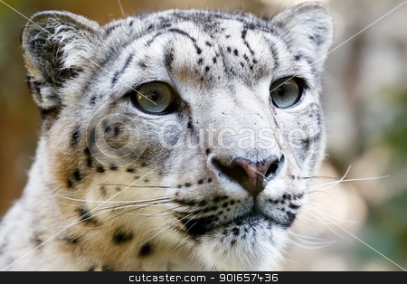 Close up Portrait of Snow Leopard Irbis stock photo, Close up Portrait of Snow Leopard Irbis (Panthera uncia) by Artush