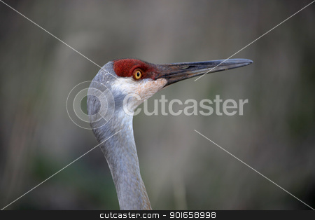 Sand hill crane stock photo, Close up shot of Sand hill crane by Sreedhar Yedlapati