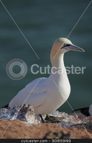 Northern Gannet (Morus bassanus) stock photo, Northern Gannet (Morus bassanus) on a cliff on Heligoland. by DirkR