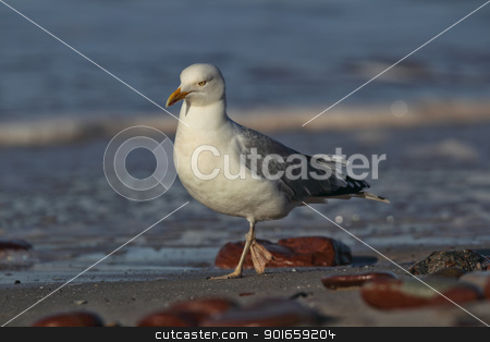 Herring Gull (Larus argentatus) stock photo, Herring Gull (Larus argentatus) on the beach of Heligoland. by DirkR