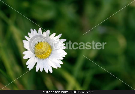 Single daisy with green background stock photo, Single daisy against a green background by steve ball