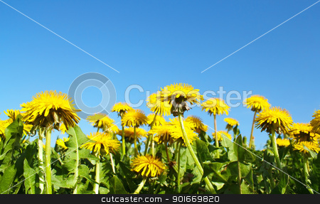 Field of spring flowers dandelions and perfect sunny day  stock photo, Field of spring flowers dandelions and perfect sunny day  by Artush