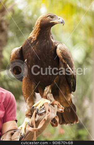 California Golden Eagle and Handler stock photo, Handler with Beautiful California Golden Eagle Against Foliage Background. by Andy Dean
