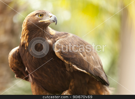 California Golden Eagle stock photo, Beautiful California Golden Eagle Against Foliage Background. by Andy Dean