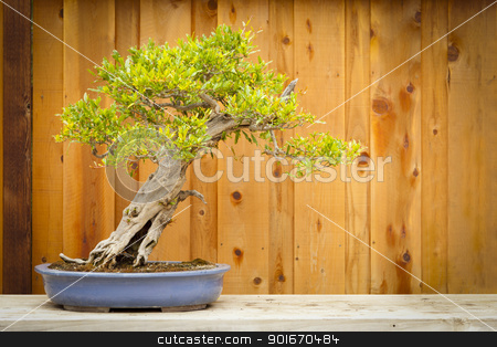 Pomegranate Bonsai Tree Against Wood Fence stock photo, Beautiful Pomegranate Bonsai Tree Against Wood Fence. by Andy Dean