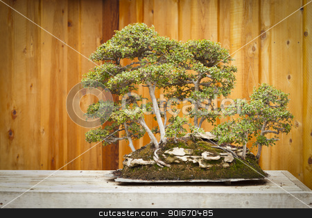 Elm Bonsai Tree Forest Against Wood Fence stock photo, Beautiful Elm Bonsai Tree Forest Against Wood Fence. by Andy Dean