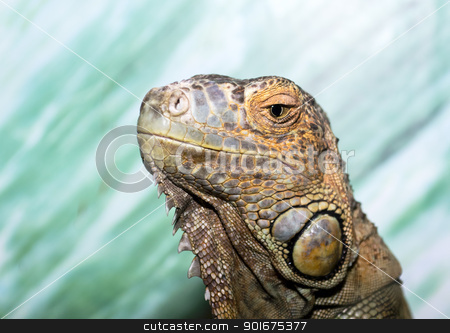 Iguana closeup stock photo, Iguana against green background by Imaster