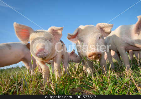 Two cute pigs stock photo, Two cute pigs on a pigfarm outdoors by Tommy Alsén