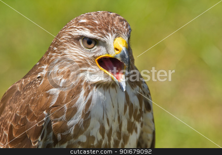 Ferruginous hawk or Butea regalis stock photo, Ferruginous hawk or Butea regalis screaming by Colette Planken-Kooij