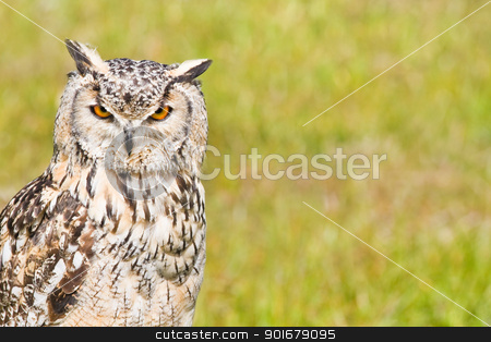 Siberian Eagle Owl or Bubo bubo sibericus stock photo, Siberian Eagle Owl or Bubo bubo sibericus - Eagle owl with lighter colored feathers   by Colette Planken-Kooij