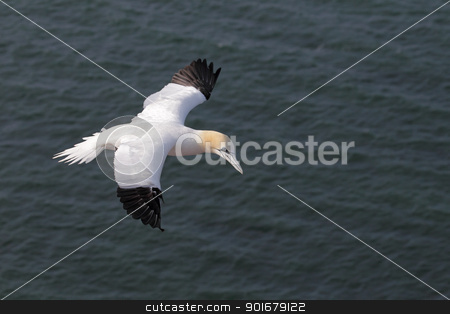Northern Gannet (Morus bassanus) stock photo, Northern Gannet (Morus bassanus) in flight over the cliffs of Heligoland. by DirkR