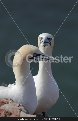 Northern Gannets (Morus bassanus) stock photo, Northern Gannets (Morus bassanus) on Heligoland. by DirkR