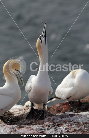 Northern Gannet (Morus bassanus) stock photo, Northern Gannets (Morus bassanus) on Heligoland. by DirkR