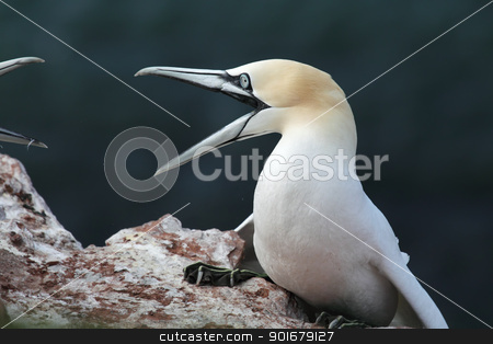 Northern Gannet (Morus bassanus) stock photo, Two Northern Gannets (Morus bassanus) in a territorial fight on Heligoland. by DirkR