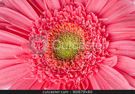 Pink gerbera flower stock photo, Pink gerbera flower closeup. by Homydesign