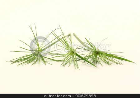Papyrus stock photo, fresh green papyrus plants on a light background by Marén Wischnewski