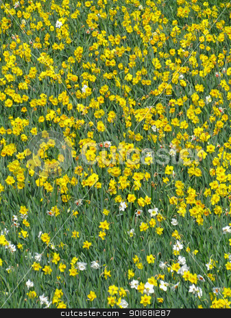 Lots of English yellow daffodil flowers growing in a field. stock photo, Lots of English yellow daffodil flowers growing in a field. by Stephen Rees