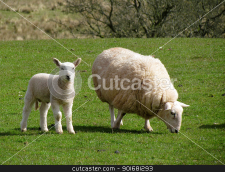 Sheep grazing with its lamb in a field, Wales UK. stock photo, Sheep grazing with its lamb in a field, Wales UK. by Stephen Rees