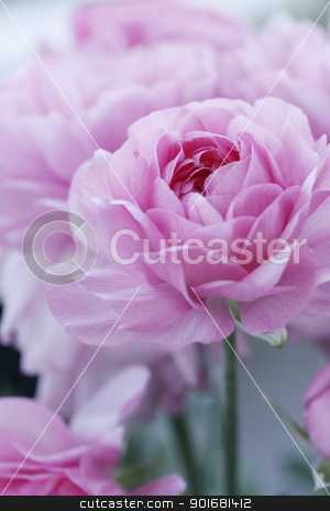 pastel pink flowers stock photo, closeup of english roses, shallow dof for a dreamy effect by Liv Friis-Larsen