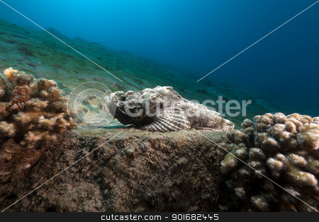 Devil scorpionfish (scorpaenopsis diabolus) in the Red Sea. stock photo, Devil scorpionfish in the Red Sea by stephan kerkhofs