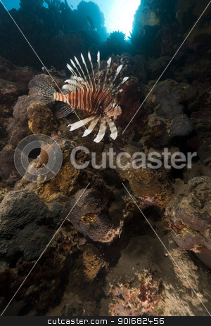 Lionfish and tropical reef in the Red Sea. stock photo, Lionfish and tropical reef in the Red Sea by stephan kerkhofs