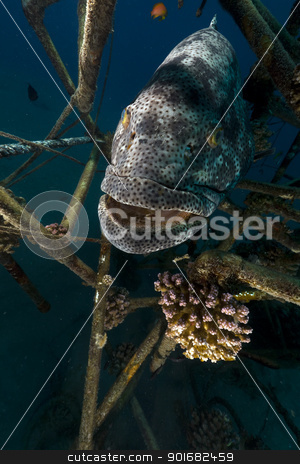 Malabar grouper (epinephelus malabaricus) in the Red Sea. stock photo, Malabar grouper in the Red Sea. by stephan kerkhofs