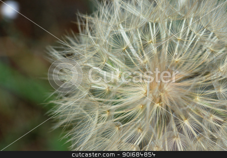 dandelion plant macro stock photo, Dandelion plant macro abstract nature background. Selective focus. by sirylok