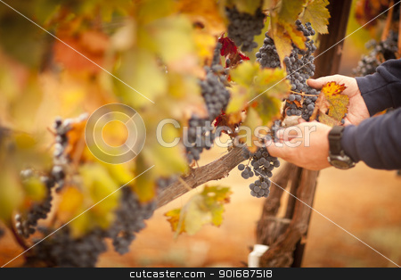Farmer Inspecting His Ripe Wine Grapes stock photo, Farmer Inspecting His Ripe Wine Grapes Ready For Harvest. by Andy Dean