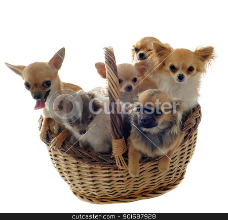 chihuahuas in basket stock photo, portrait of a five  purebred  puppy chihuahua in a basket by Bonzami Emmanuelle