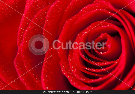 Close Up Rose Petals With Droplets stock photo, Close Up Rose Petals With Droplets by Dunning Adam Kyle