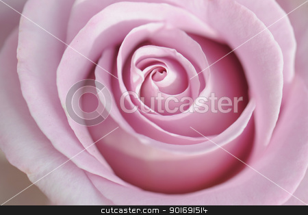 pink rose stock photo, close up of a pink rose in a garden  by Bonzami Emmanuelle
