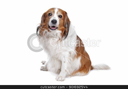 Kooiker Hound stock photo, Kooiker Hound in front of a white background by Erik Lam