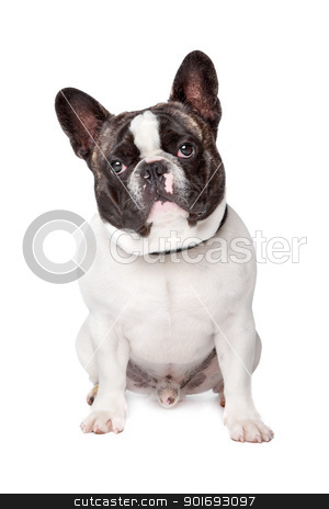 Cute French Bulldog stock photo, Cute French Bulldog sitting on a white background by Erik Lam