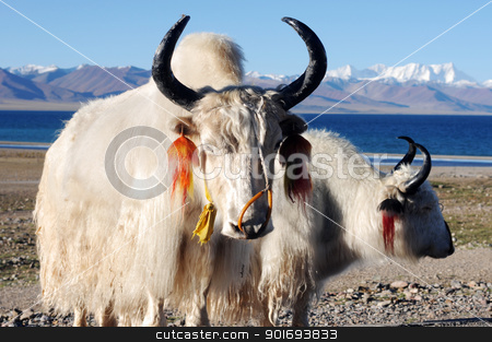 Tibetan white yaks stock photo, White yaks at the lakeside in the highlands of Tibet by John Young
