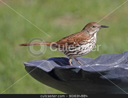 Standing Brown Thrasher stock photo, A Brown Thrasher (Toxostoma rufum) sitting on bird bath.  by Chris Hill