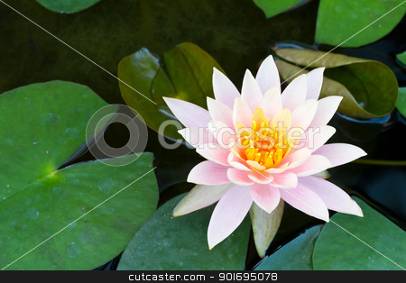 Pink water lily stock photo,  by pattarastock