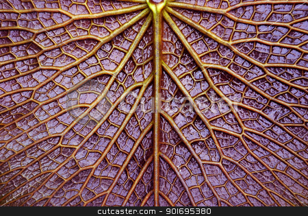 texture of Victoria lotus leaf  stock photo, texture of Victoria lotus leaf  by photomyheart