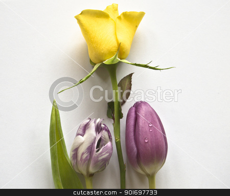 tulips stock photo, Spring flowers: tulips isolated and rose   by Vanessa GF