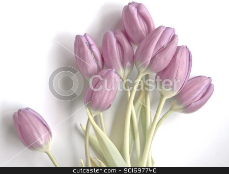 tulips isolated  stock photo, Spring flowers: tulips isolated  by Vanessa GF