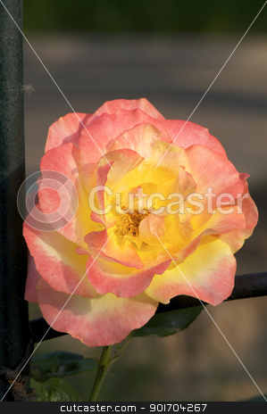 Chinese Rose Flower  stock photo, Chinese Rose Flower bloomed in a spring garden by momo_leif