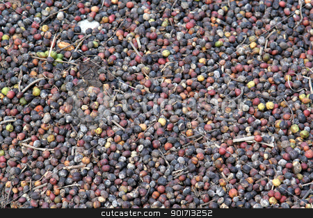 Close-up of Coffee Fruit stock photo, Lots of raw coffee fruit right off the tree, drying in the sun.  by Chris Hill